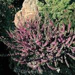 10x Besenheide Red Star - Calluna vulgaris