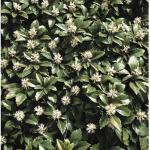 12 x Dickmännchen, Schattengrün FloraSelf Pachysandra terminalis H 10-15 cm