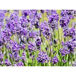 3 x Lavandula angustifolia 'Hidcote Blue' (Lavendel) ab 1,19 € pro Stück