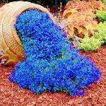 300 Stück Aubrieta-Samen, Kressesamen, kälteresistente mehrjährige Bodendecker-Pflanzen Blumensamen für das Pflanzen im Freien (blau)
