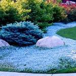 300 Stück Aubrieta-Samen, Kressesamen, kälteresistente mehrjährige Bodendecker-Pflanzen Blumensamen für das Pflanzen im Freien (hellblau)