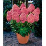 BCM Gehölze Hortensie Magical Fire rosa Ziergehölze Pflanzen Garten Balkon