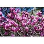 BCM Gehölze Magnolie soulangiana 'Heaven Scent', Lieferhöhe ca. 60 cm, 1 Pflanze rosa Pflanzen Garten Balkon