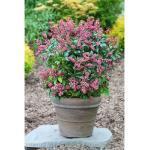 BCM Gehölze Pieris japonica Passion, Lieferhöhe ca. 25 cm, 1 Pflanze grün Pflanzen Garten Balkon