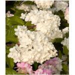 BCM Gehölze Rispen-Hortensie Pinky Winky XXL rosa Ziergehölze Pflanzen Garten Balkon