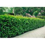 BCM Hecken Kirschlorbeer weiß Heckenpflanzen Pflanzen Garten Balkon