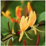 BCM Kletterpflanze Geisblatt henryi 'Copper Beauty', Lieferhöhe ca. 60 cm, 1 Pflanze gelb Pflanzen Garten Balkon