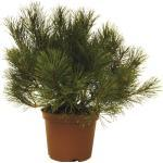 Bergkiefer FloraSelf Pinus mugo H 15-20 cm 3 L