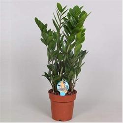 Blumen-Senf Zamioculcas Zamiifolia Zanzibar 70 cm 10+ Blätter Glücksfeder Zimmerpflanze