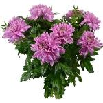 Böttcher-AG Blumenstrauß Janet XL, rosa Chrysanthemen, 10 Stück