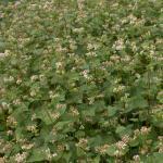 Buchweizen (Fagopyrum esculentum), 25 kg LILEJA/LIFAGO