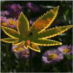 Bütic GmbH Plexiglas® Sonnenfänger Cannabisblatt 14cm neon transparent fluoreszierend, Farbe:Neonorange