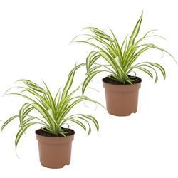 """Dominik Blumen und Pflanzen, Grünlilie """"Ocean"""", 2 Zimmerpflanzen, gute Ampelpflanzen, 10 - 12 cm Topf"""