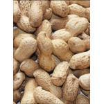 Erdnüsse in Schale (Packungsgröße: 1 kg)