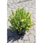 Fingerstrauch FloraSelf Potentilla fruticosa 'Dakota Sunspot' H 30-40 cm Co 4 L