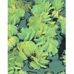 Gemeiner Schwimmfarn FloraSelf Salvinia natans H 2-5 cm Co 1 L