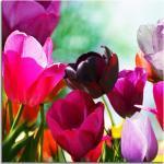 Glasbild Tulips I 4 mm Floatglas mit Motiv - ca. 30 x 30 cm