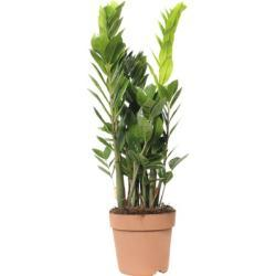 Glücksfeder FloraSelf Zamioculcas zamiifolia H 60-80 cm Ø 17 cm Topf