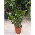 Glücksfeder, Zamioculcas zamiifolia, ca. 80 cm, große Zimmerpflanze, 27 cm Topf