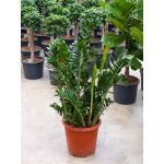 Glücksfeder, Zamioculcas zamiifolia, ca. 80 cm, pflegeleichte Zimmerpflanze, 27 cm Topf