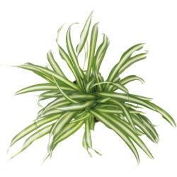 Grünlilie FloraSelf Chlorophytum comosum 'Atlantic' H 30-40 cm Ø 12 cm Topf