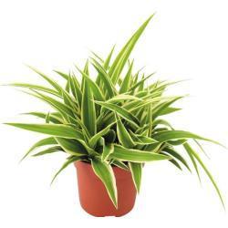 Grünlilie FloraSelf Chlorophytum comosum 'Ocean' H 20 cm Ø 10,5 cm Topf