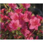 Japanische Azalee Rhododendron obtusum 'Little Red' H 20-30 cm Co 3 L