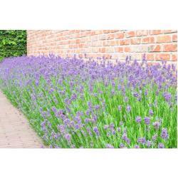 Lavendel FloraSelf Lavandula angustifolia H 5-20 cm Pack 6 Stk.
