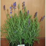 lilablau blühender Lavendel Hidcote Blue Solitär im 2 Liter Pflanzcontainer
