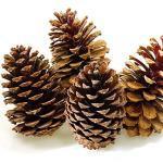 MGS SHOP Pinienzapfen 4 Stück große Zapfen ca. 14 cm geöffnet Natur Deko Weihnachten