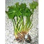 Mühlan Wasserpflanzen 1 grüne japanische Teichrose, Nuphar Japonica