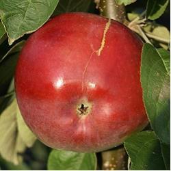 Müllers Grüner Garten Shop Säulenapfel McIntosh Wijcik roter saftig süßer Apfel Säulenapfel 60-100 cm im 5 Liter Topf