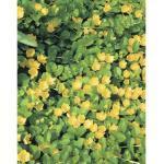 Pfennigkraut FloraSelf Lysimachia numularia Ø 18 cm Topf