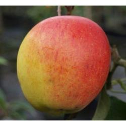 Rebella®, vielfach resistenter Herbstapfel, Buschbaum (kleinbleibend), 120-140cm, im Topf