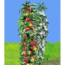 Säulen-Apfel 'Red River®', Apfelbaum 1 Pflanze Malus domestica