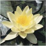 Seerose FloraSelf Nymphaea marliaceae 'Chromatella' Ø 11 cm Topf