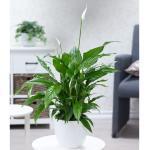 Spathiphyllum im 60 cm hoch,1 Pflanze