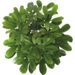Strahlenaralie FloraSelf Schefflera arboricola 'Nora' H 45-55 cm Ø 13 cm Topf