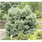 Strauch-Wald-Kiefer FloraSelf Pinus sylvestris 'Watereri' H 15-20 cm Co 2 L