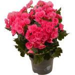 toom Begonie rosa, 13 cm Topf