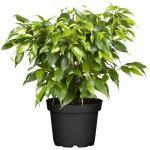 toom Luftverbesserer Ficus 'Natasja' 12 cm Topf