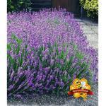 Winterharte Stauden Lavendel-Hecke 'Blau', 9 Pflanzen Lavandula angustifolia Munstead
