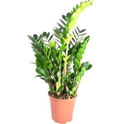 Zamioculcas zamiifolia, im 17cm Topf, Glücksfeder, Höhe ca. 50cm