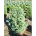 Zapfenkiefer Wiethorst - Pinus schwerinii - 7.5 L Topf 40-50 cm