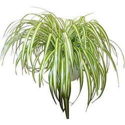 Zimmerpflanze für Wohnraum oder Büro – Chlorophytum – Grünlilie