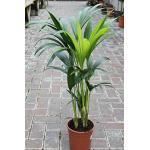 Zimmerpflanze für Wohnraum oder Büro – Howea Forsteriana – Kentia-Palme – Paradies-Palme. Höhe ca. 95cm