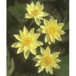 Zwerg-Seerose FloraSelf Nymphaea pygmaea 'Helvola' H 10-20 cm Co 0,6 L